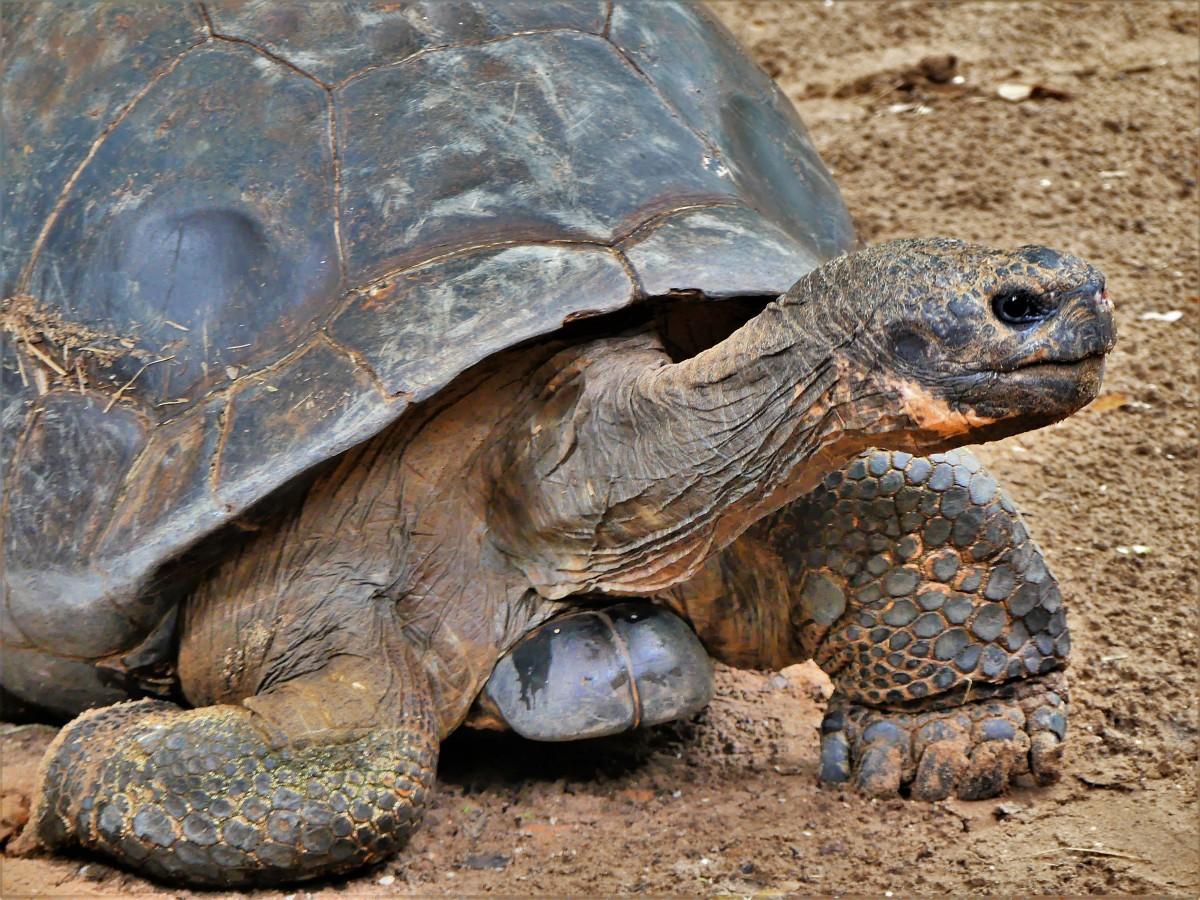 Galapagos tortoise1.jpg