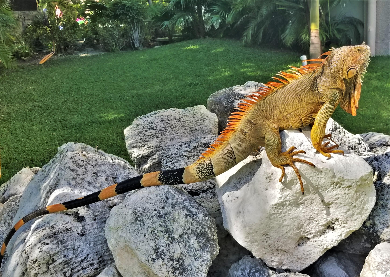 iguana king