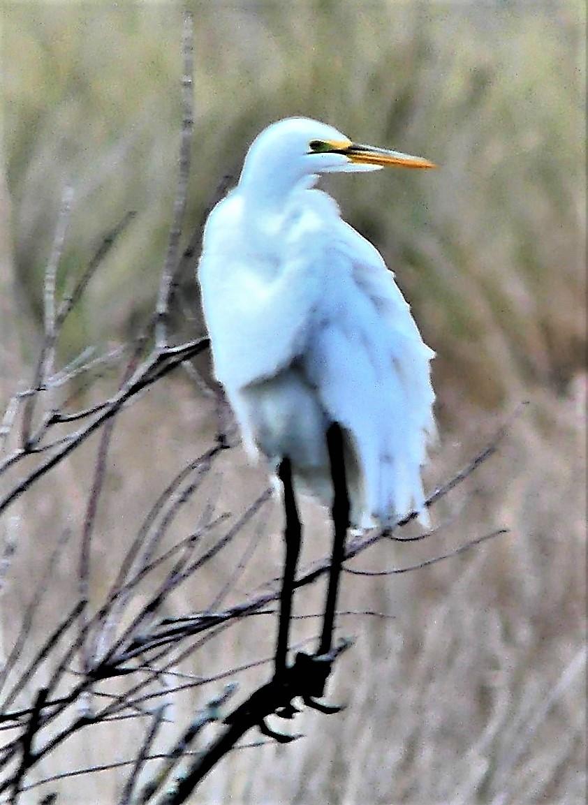 heron on a limb (4)