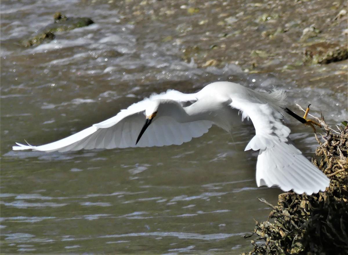 egret takes off