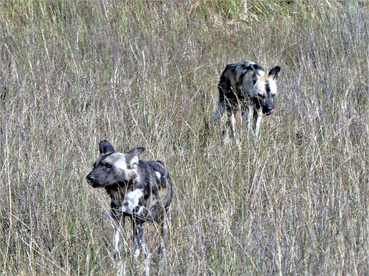 2 dogs prowling (3)