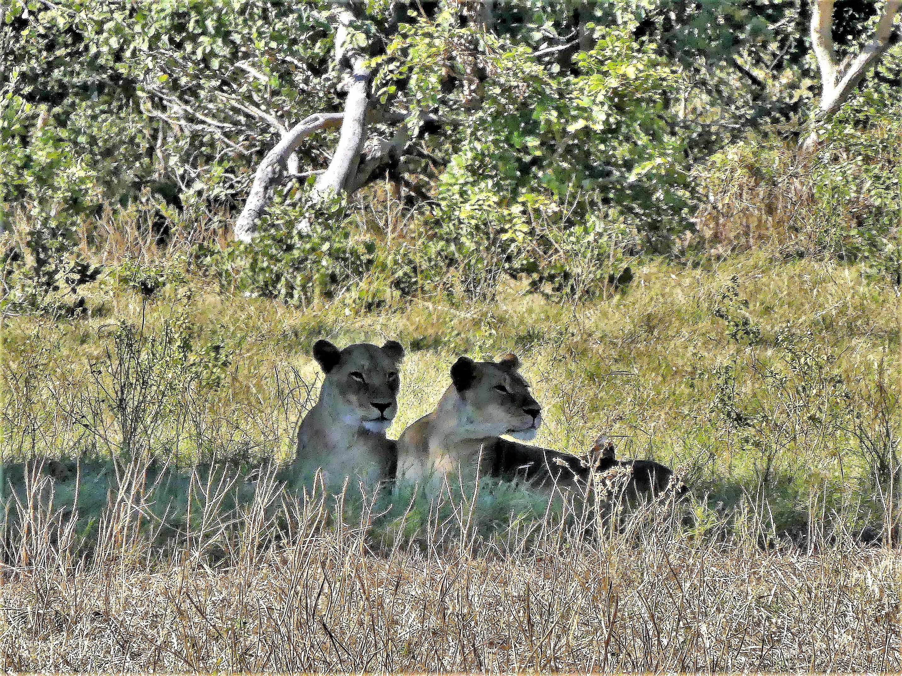 2 female lions
