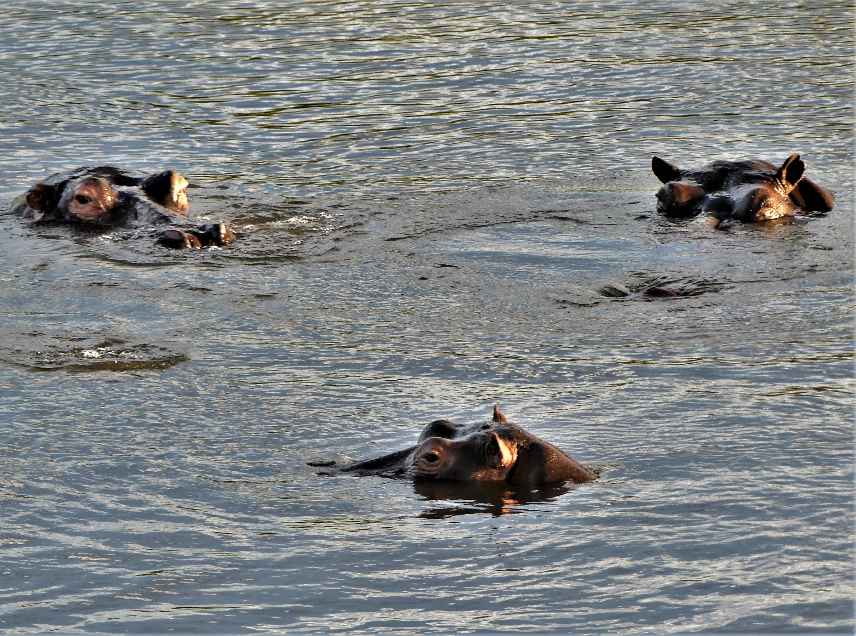 3 hippos skimming the surface