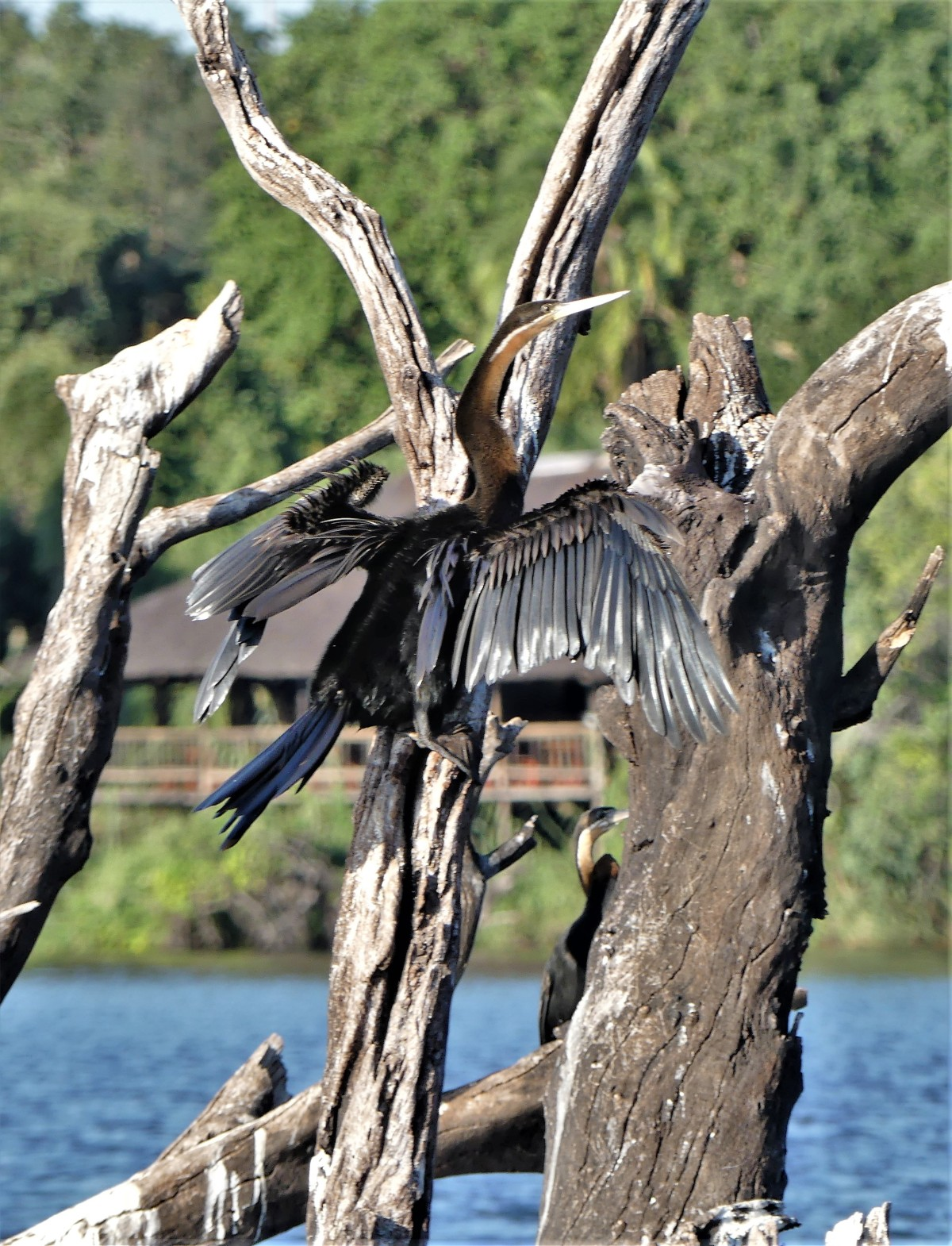 African darter on a branch