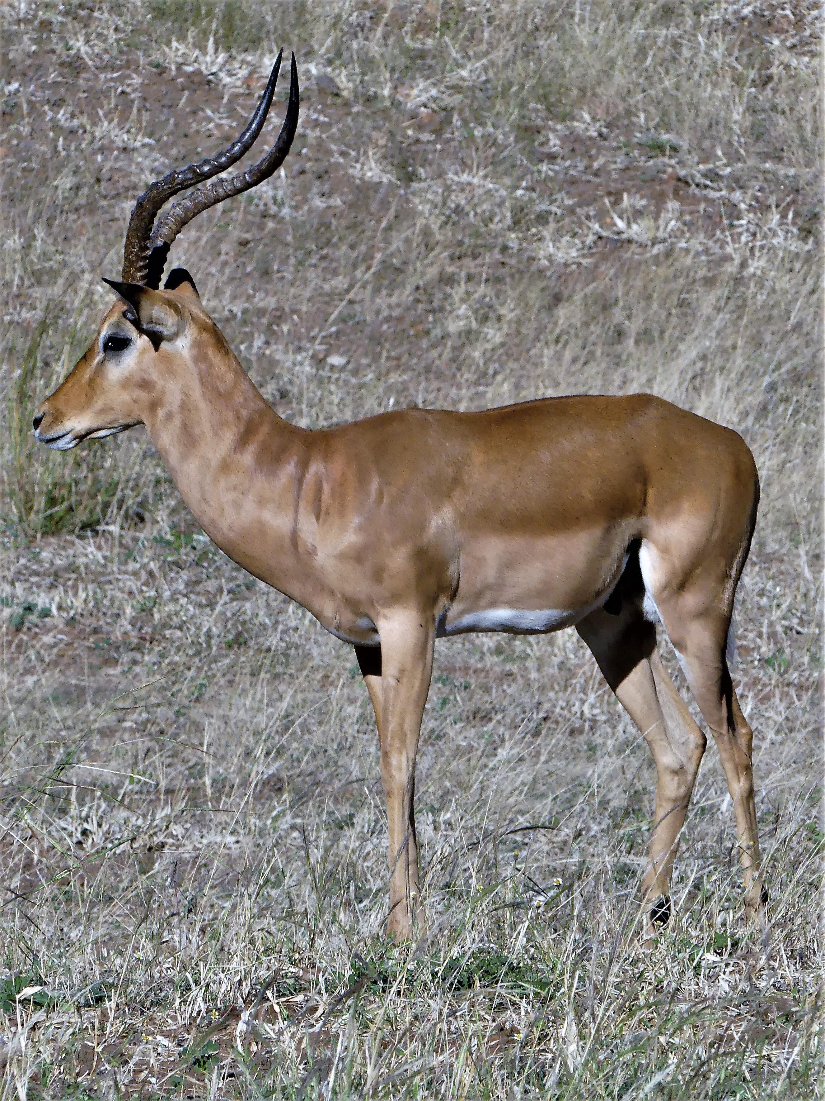alpha male impala
