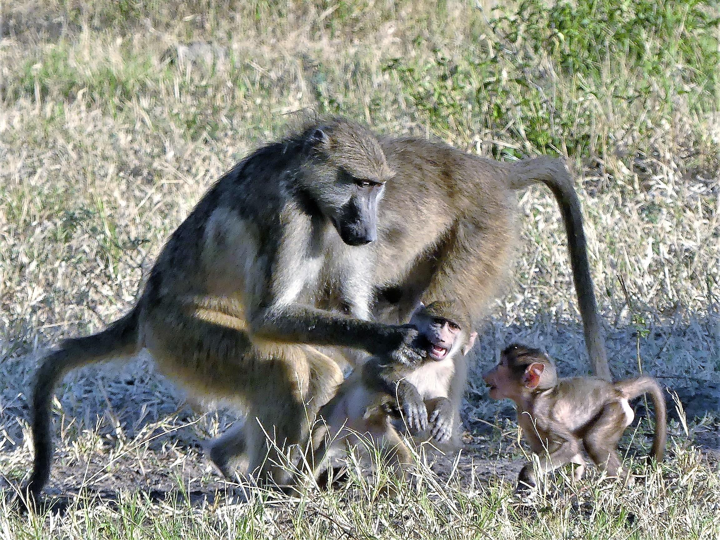 baboon discipline (2)