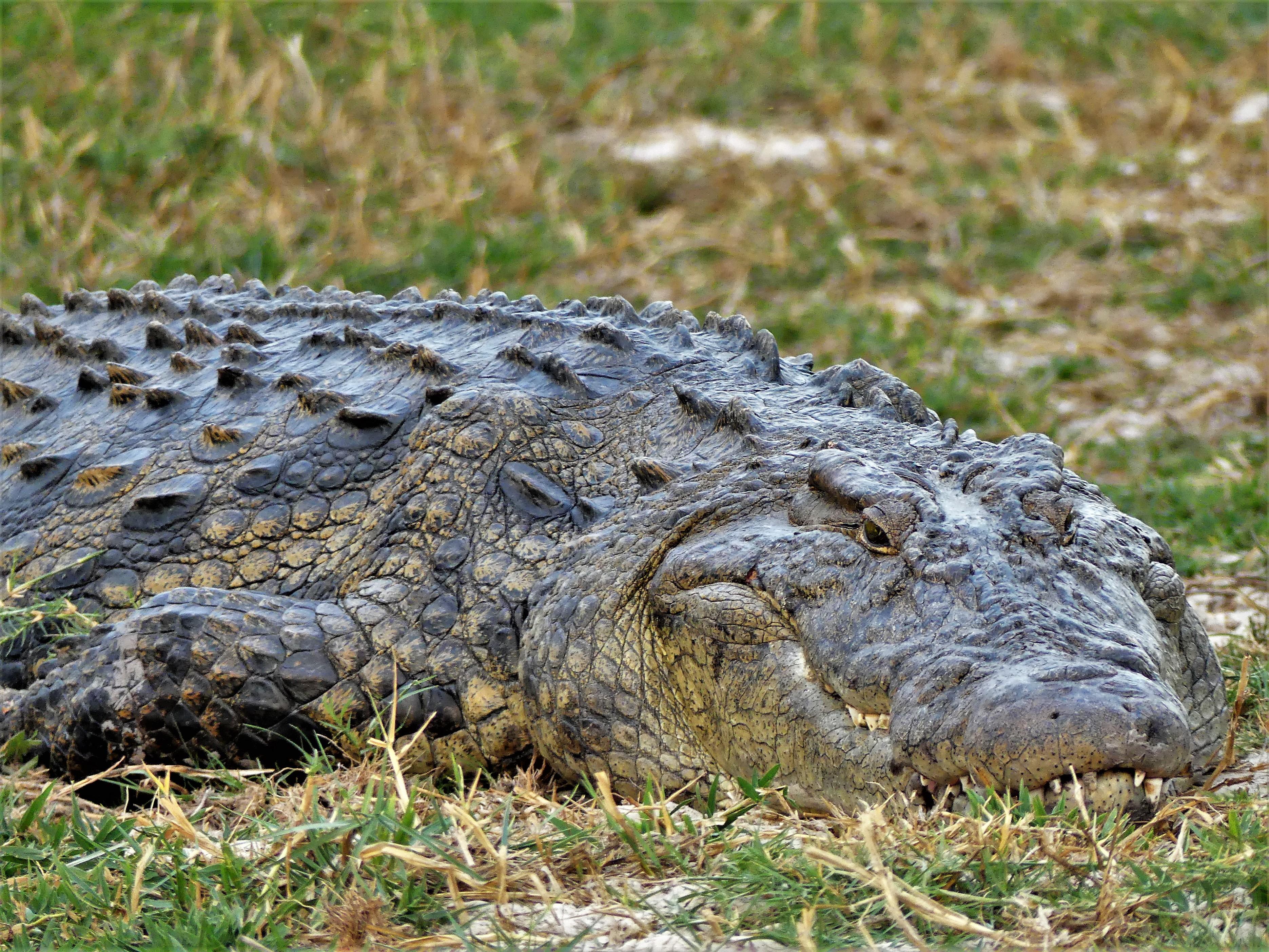 big daddy croc_cu