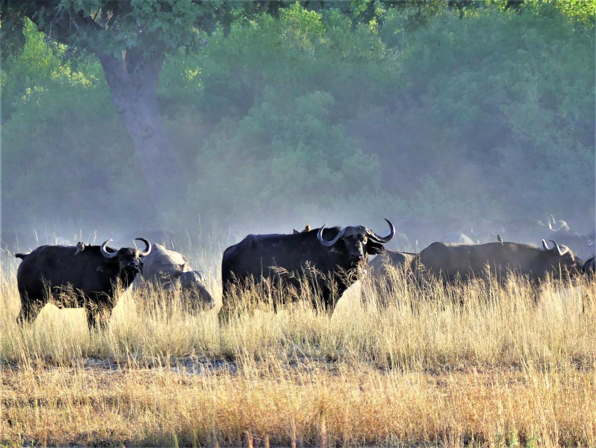 Cape buffalos (2)