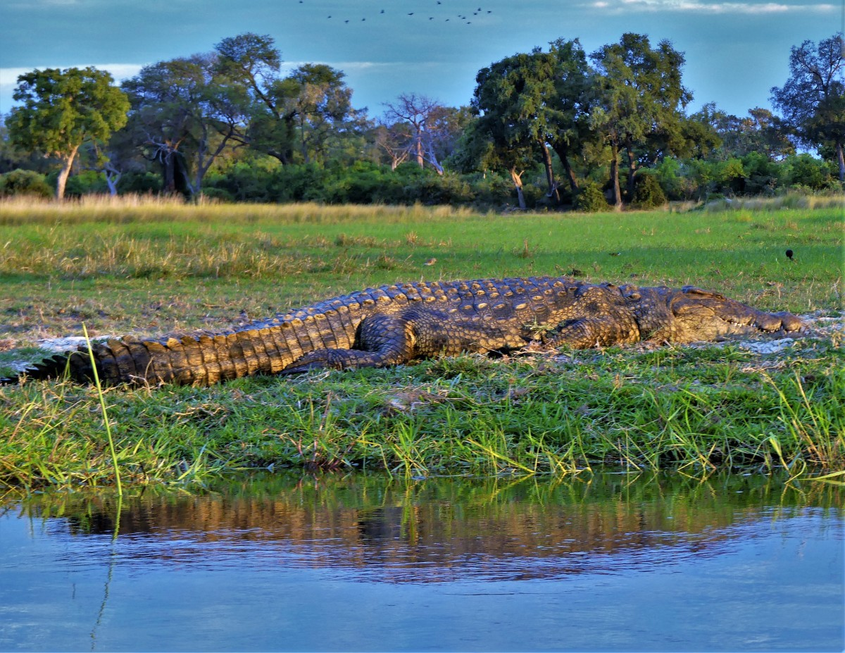 croc at sundown