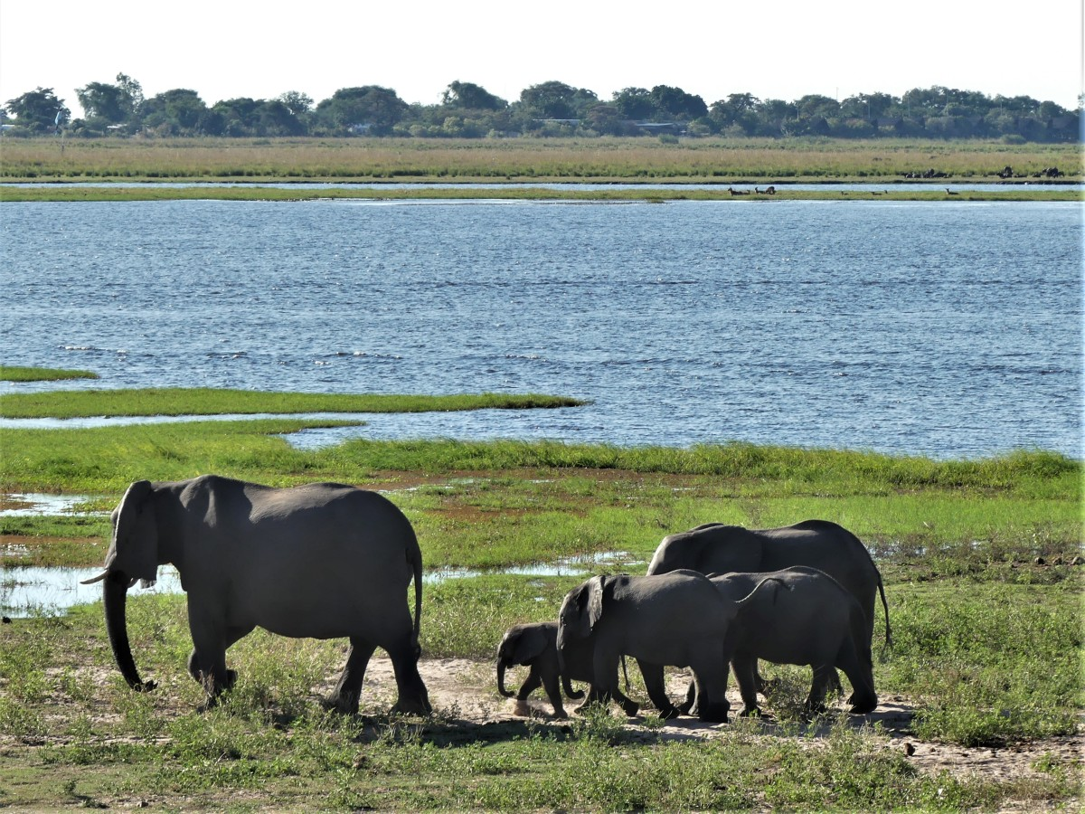 elephant family walking by the river
