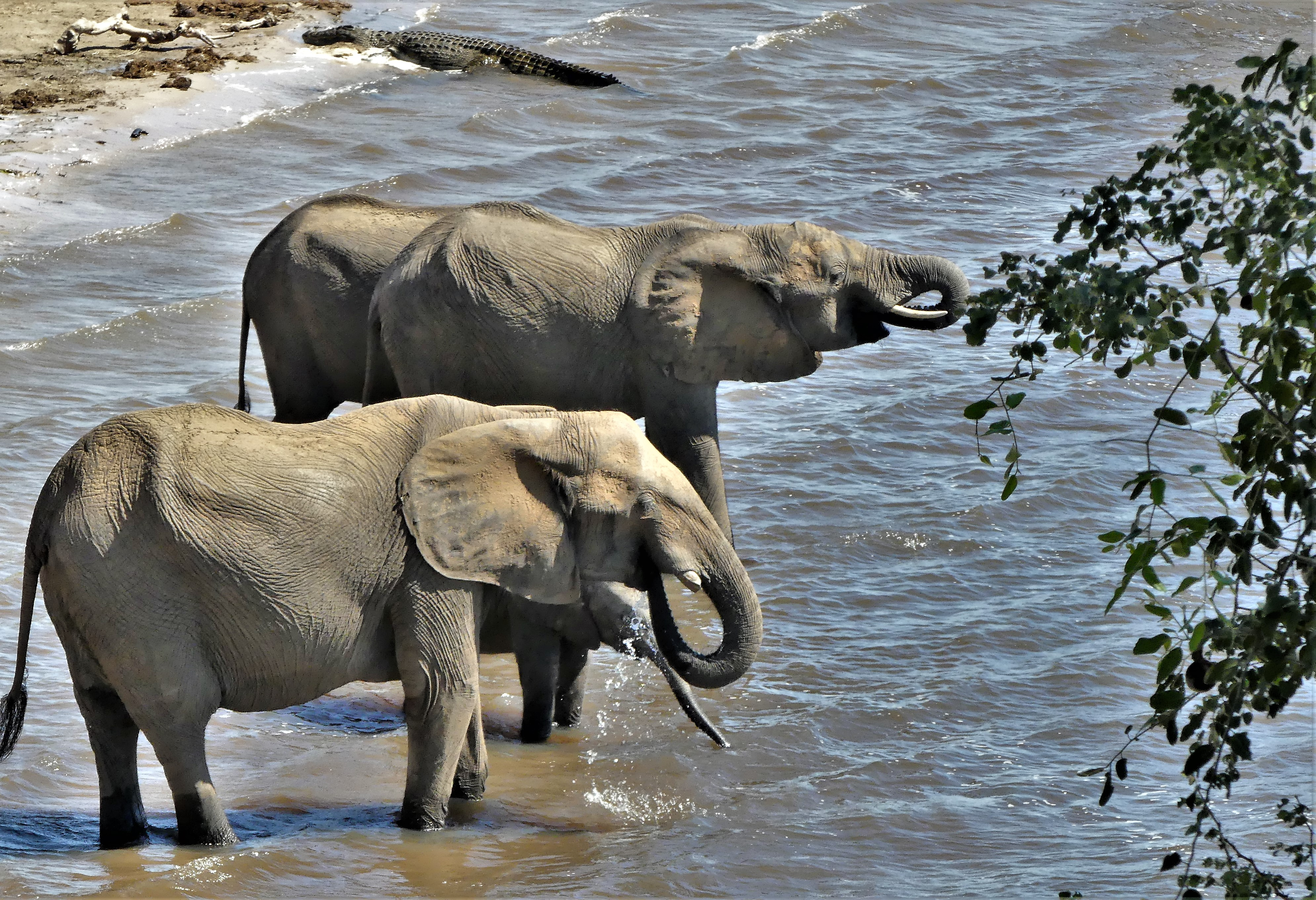 elephants and croc