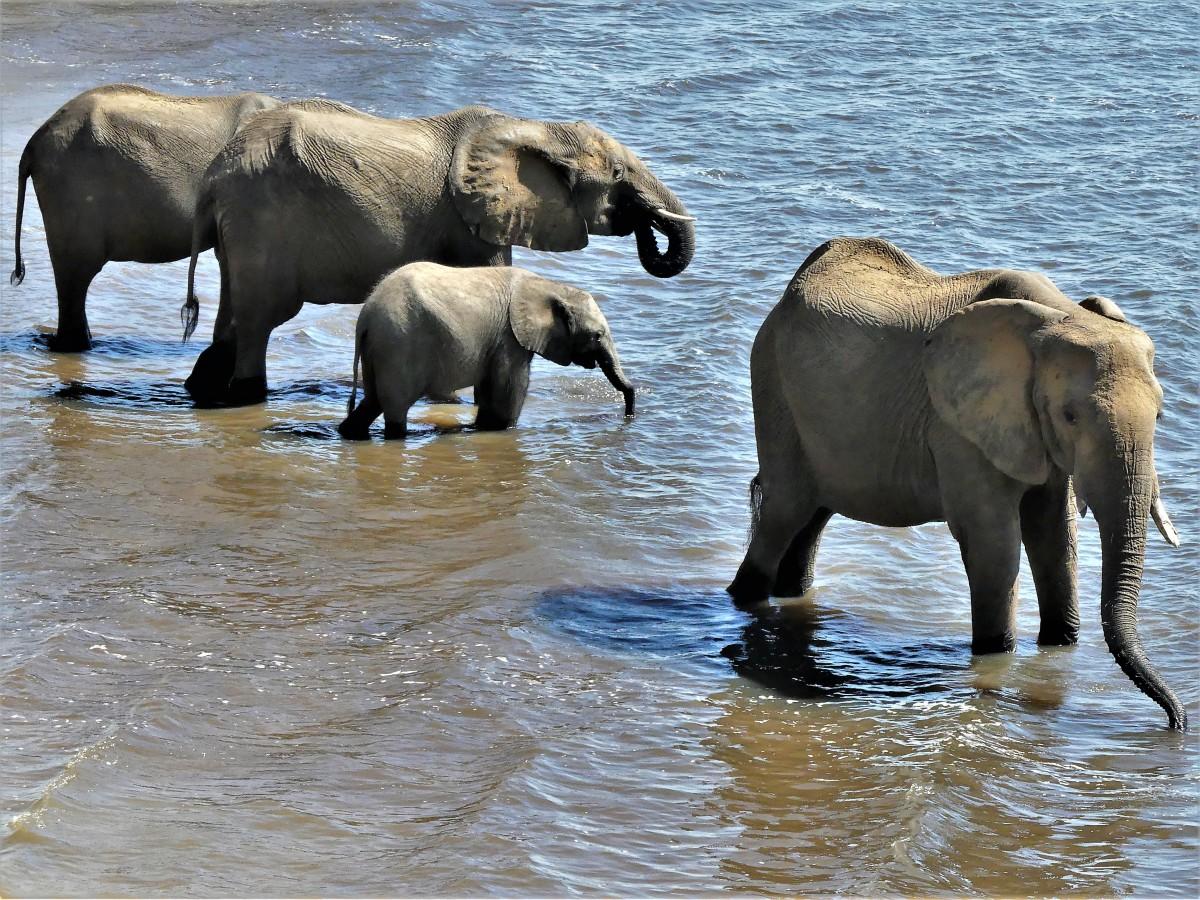 family of elephants drinking