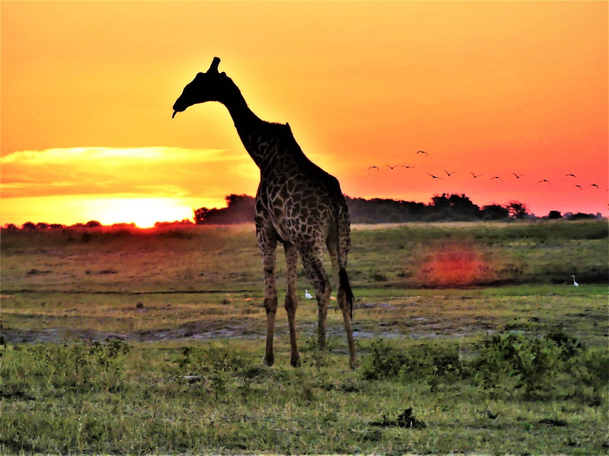 Giraffe with a flock of birds