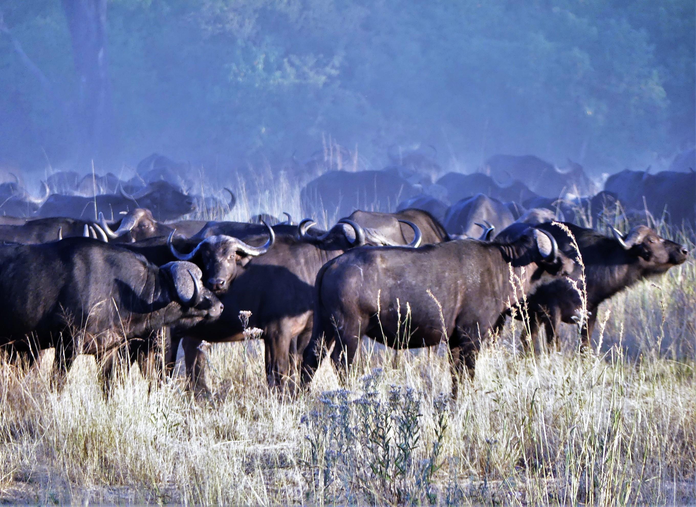 herd of Cape buffalo (2)