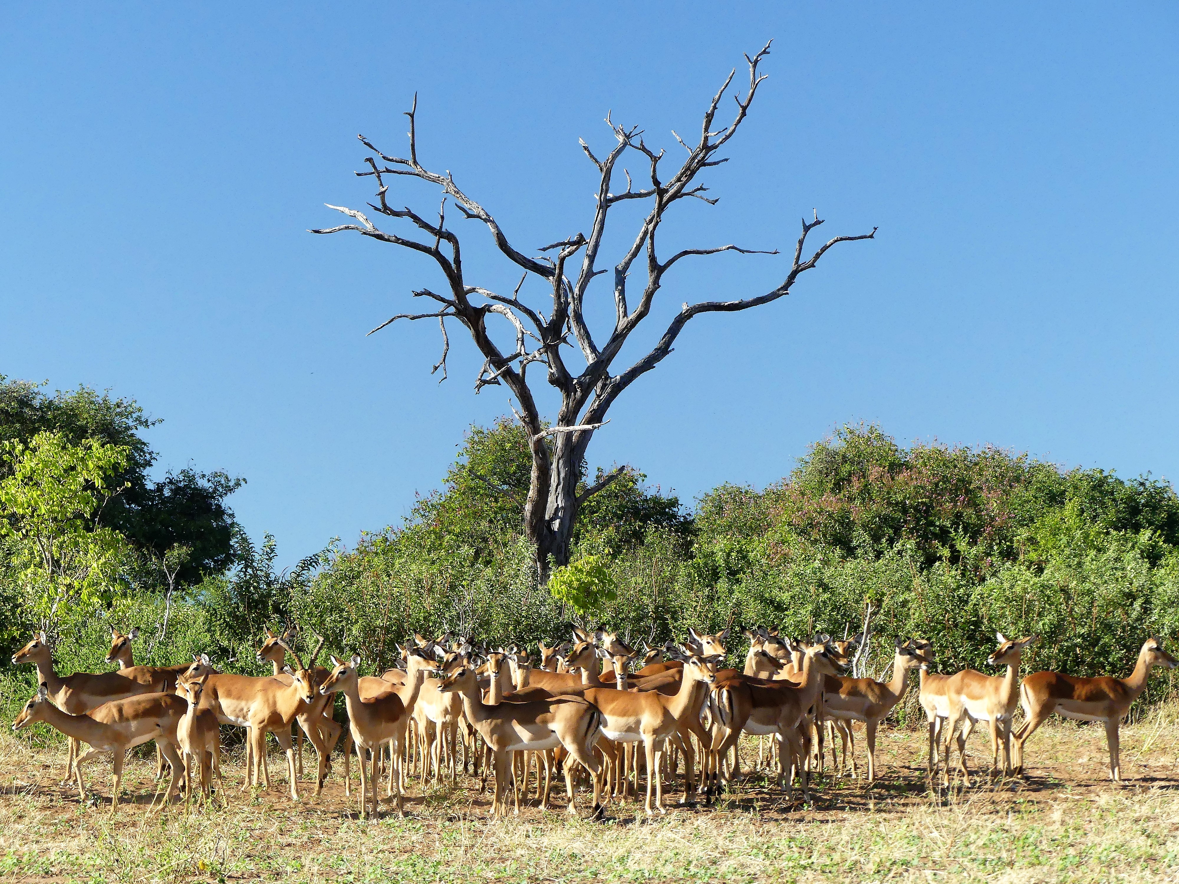 herd of impalas