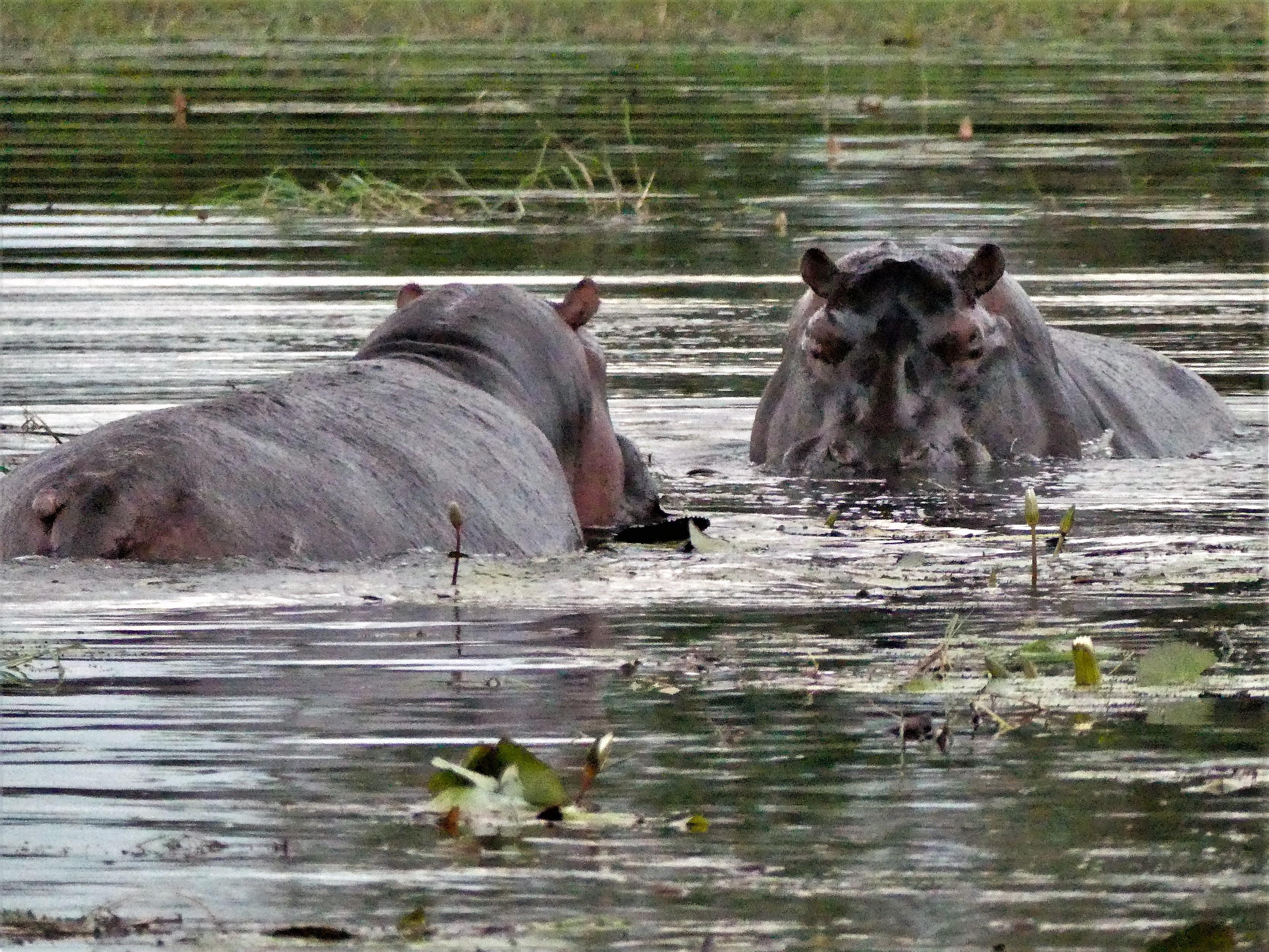 hippo clash