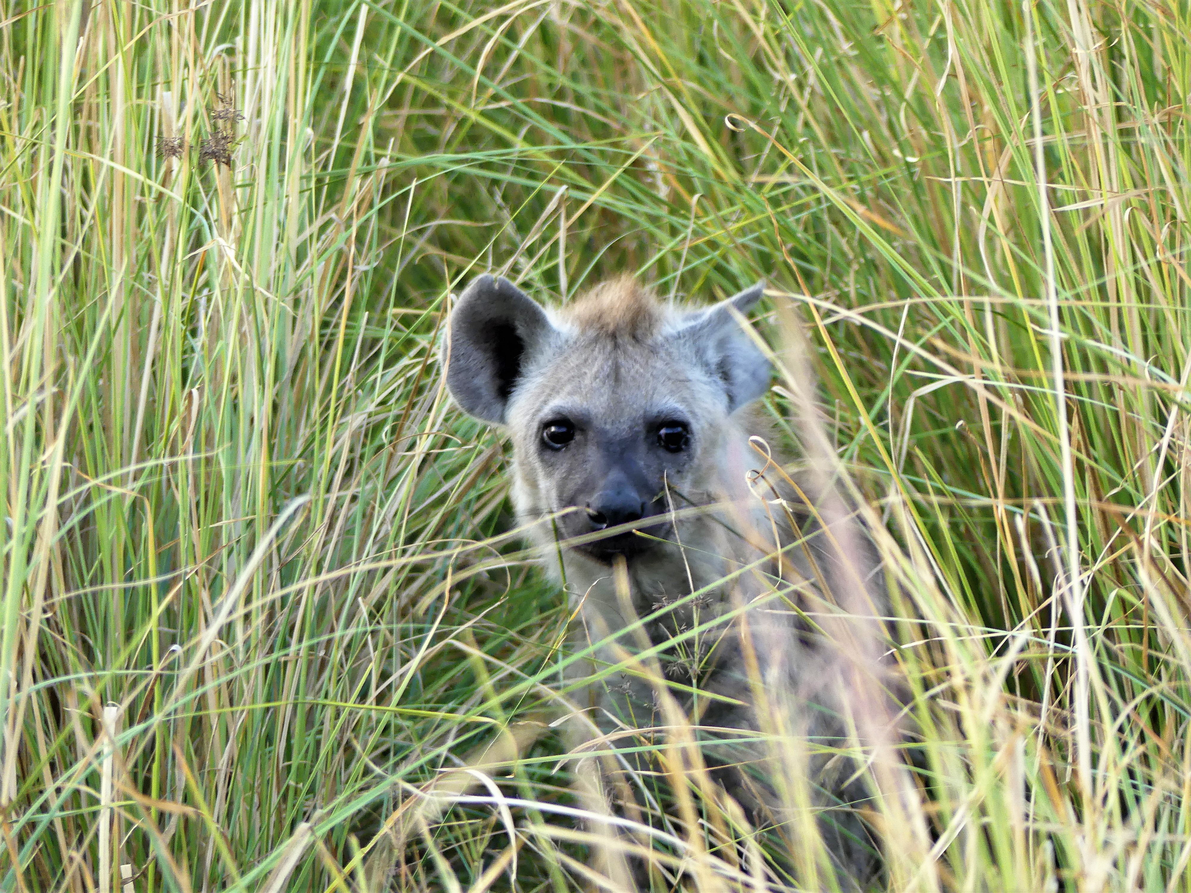 hyena cub in the grass
