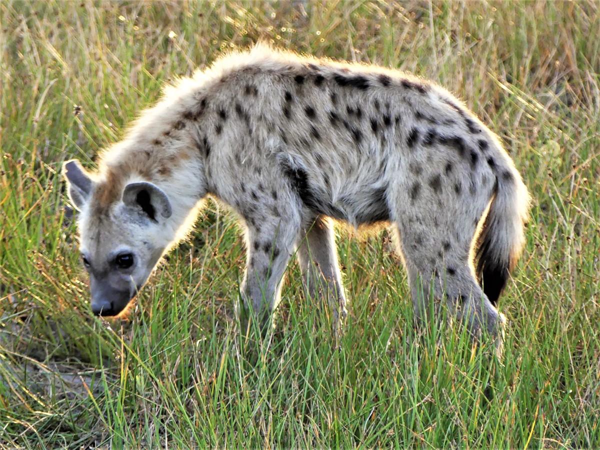 hyena halo