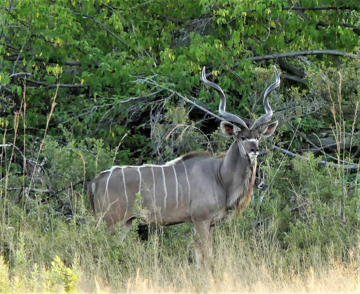 kudu (2)