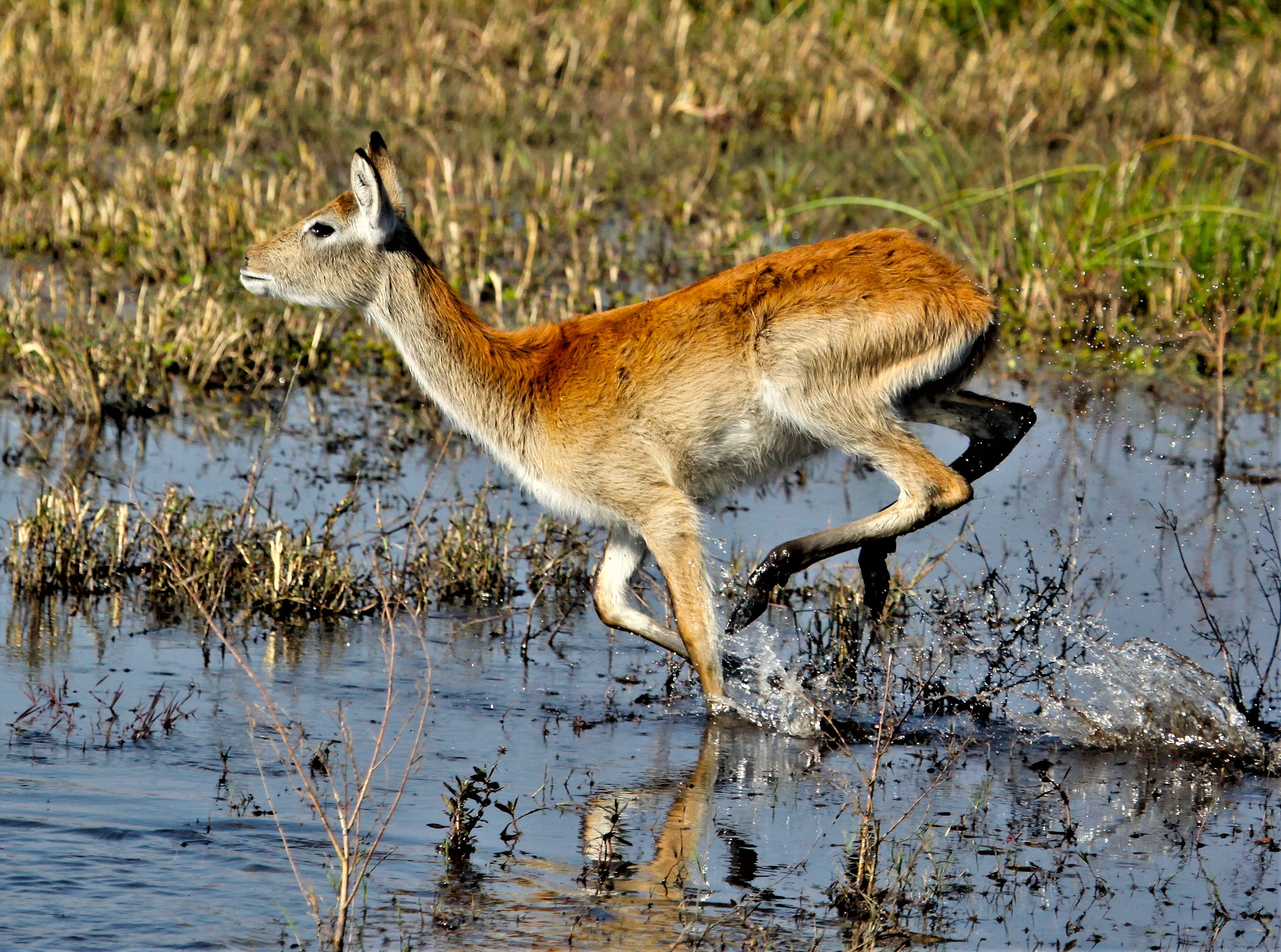 Leaping_Lechwe (2)