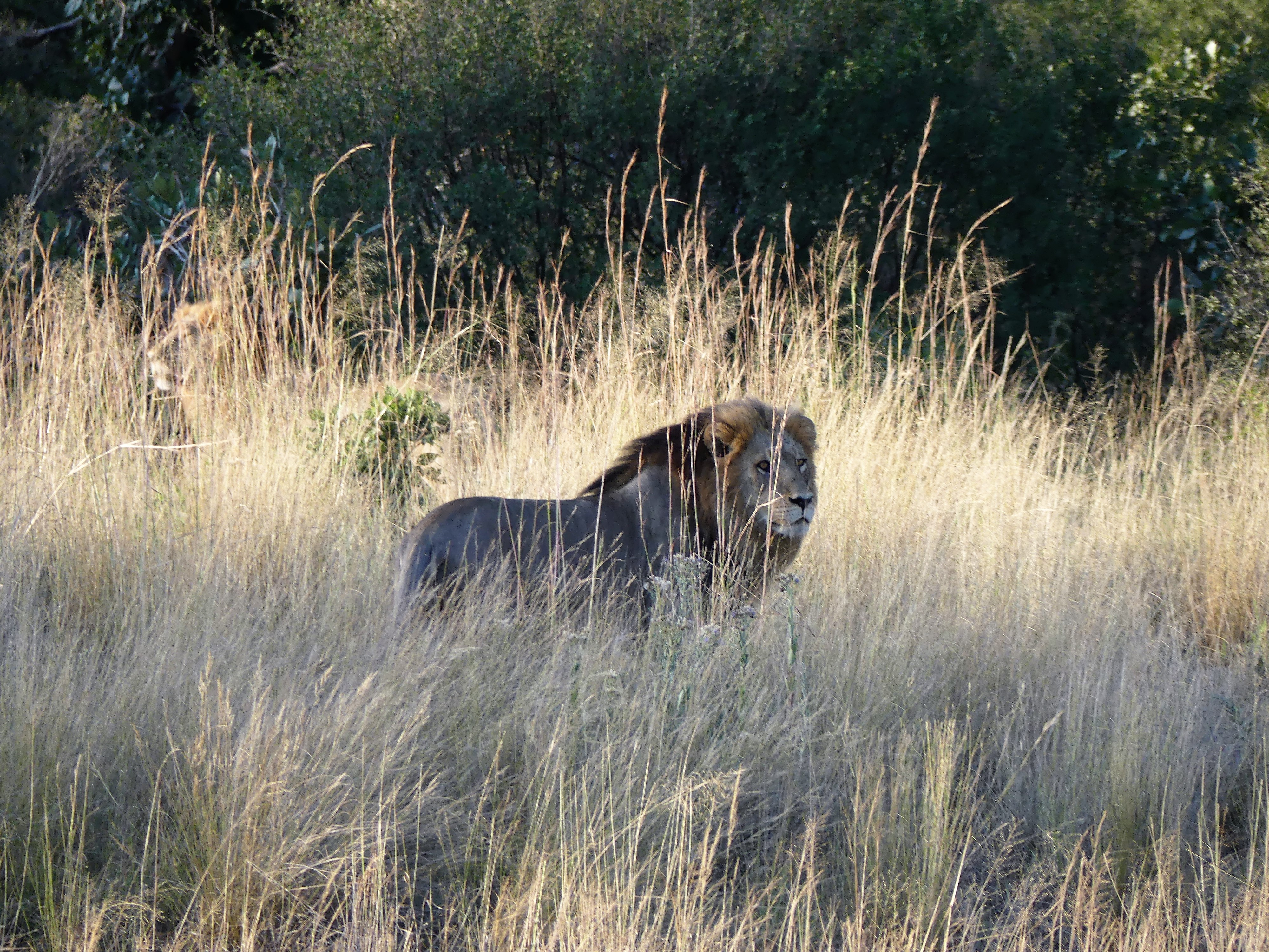 lion 2 in the grass