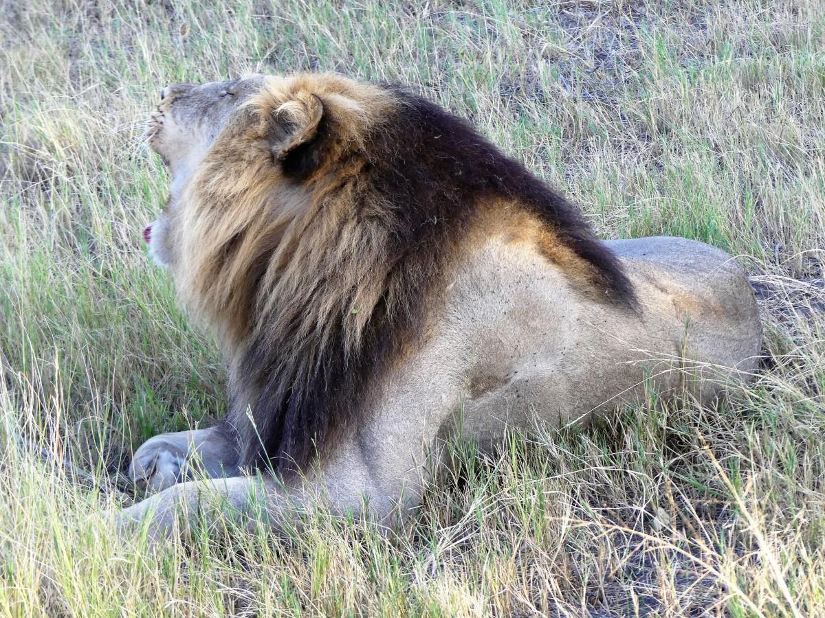 lion calling