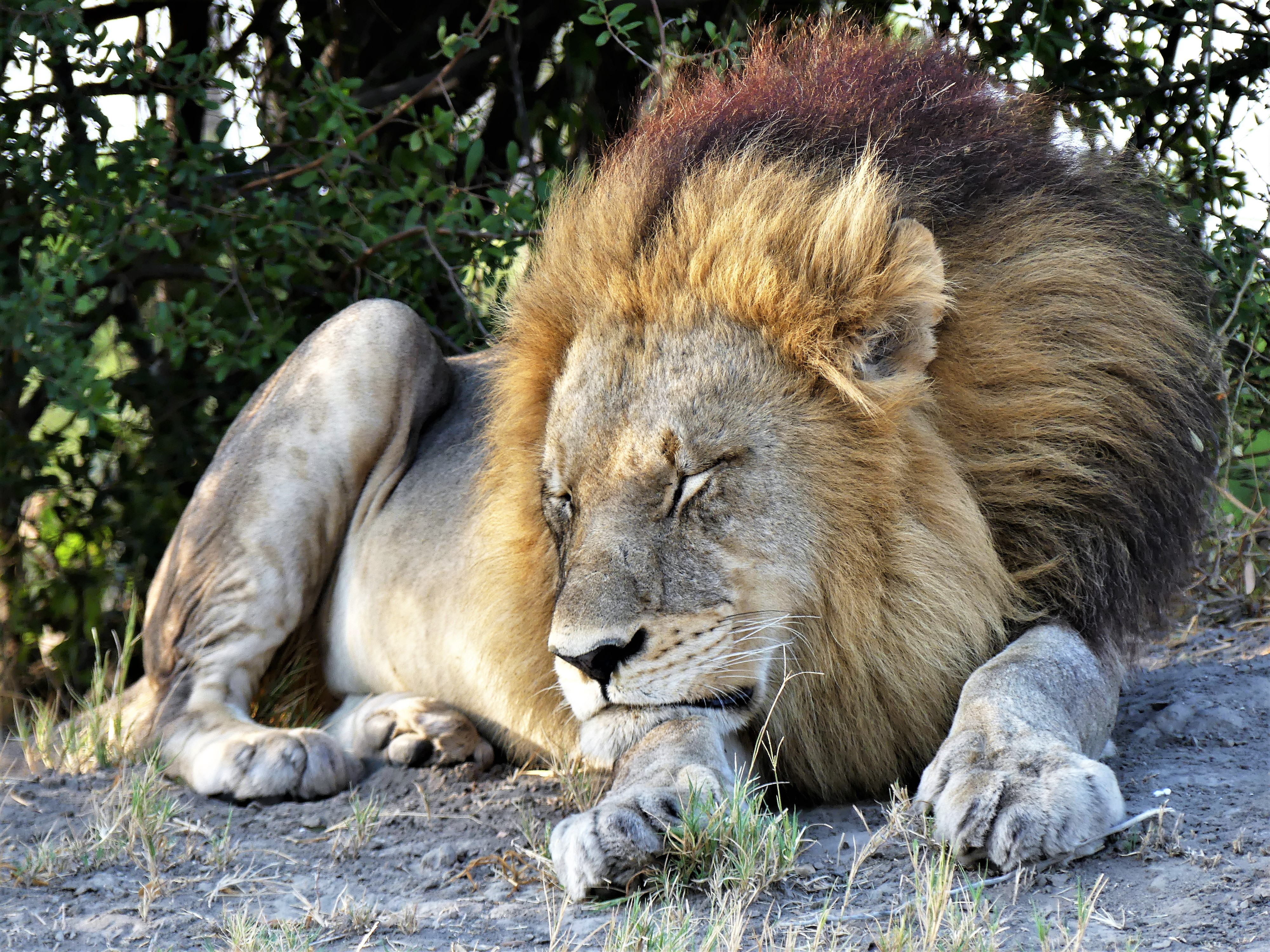 lion napping1