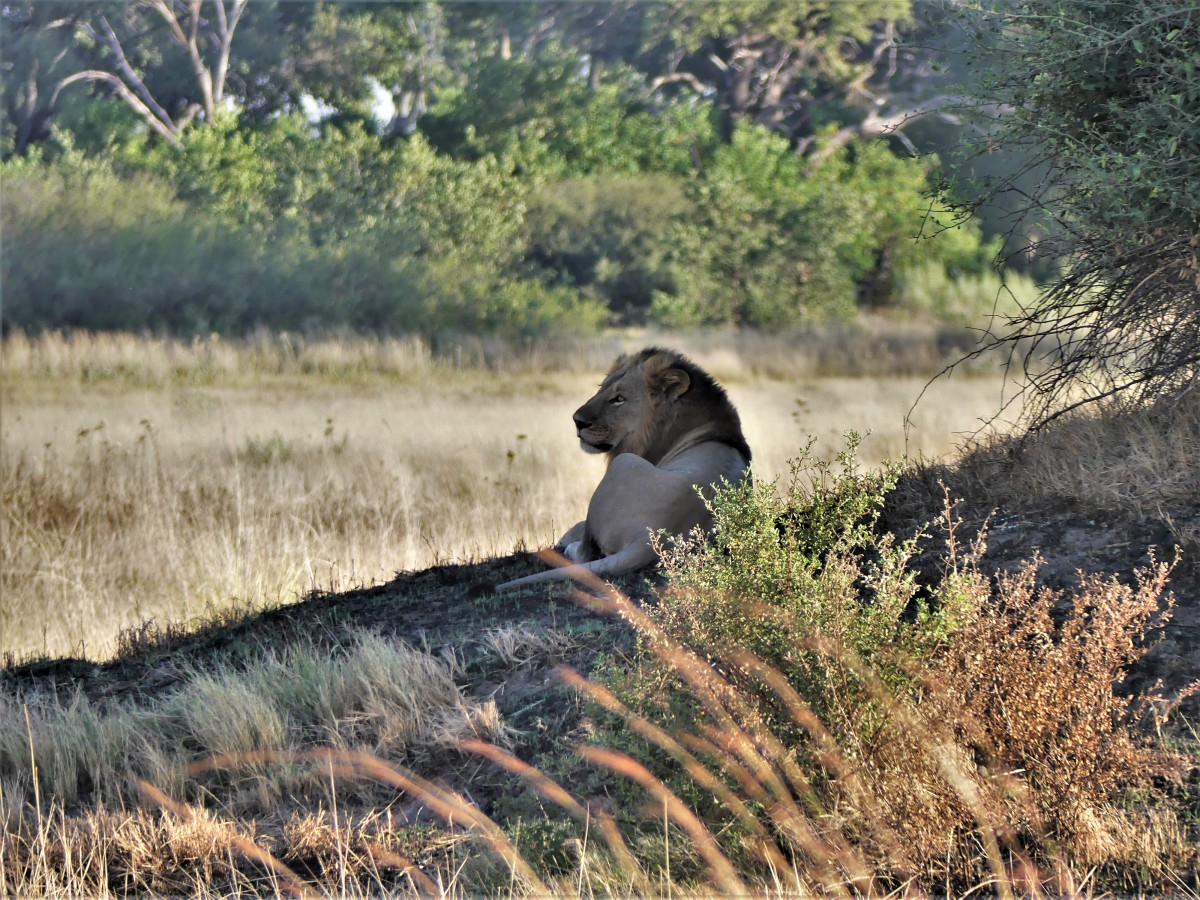 lion waiting