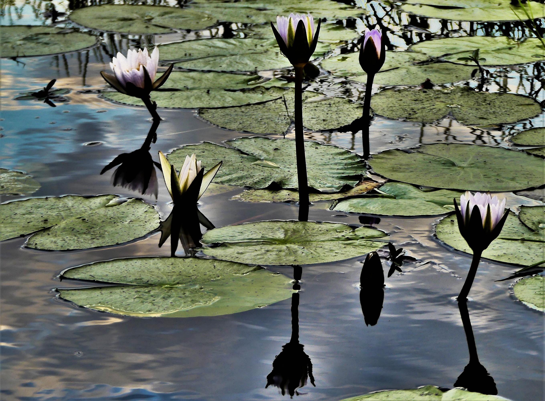 night lillies