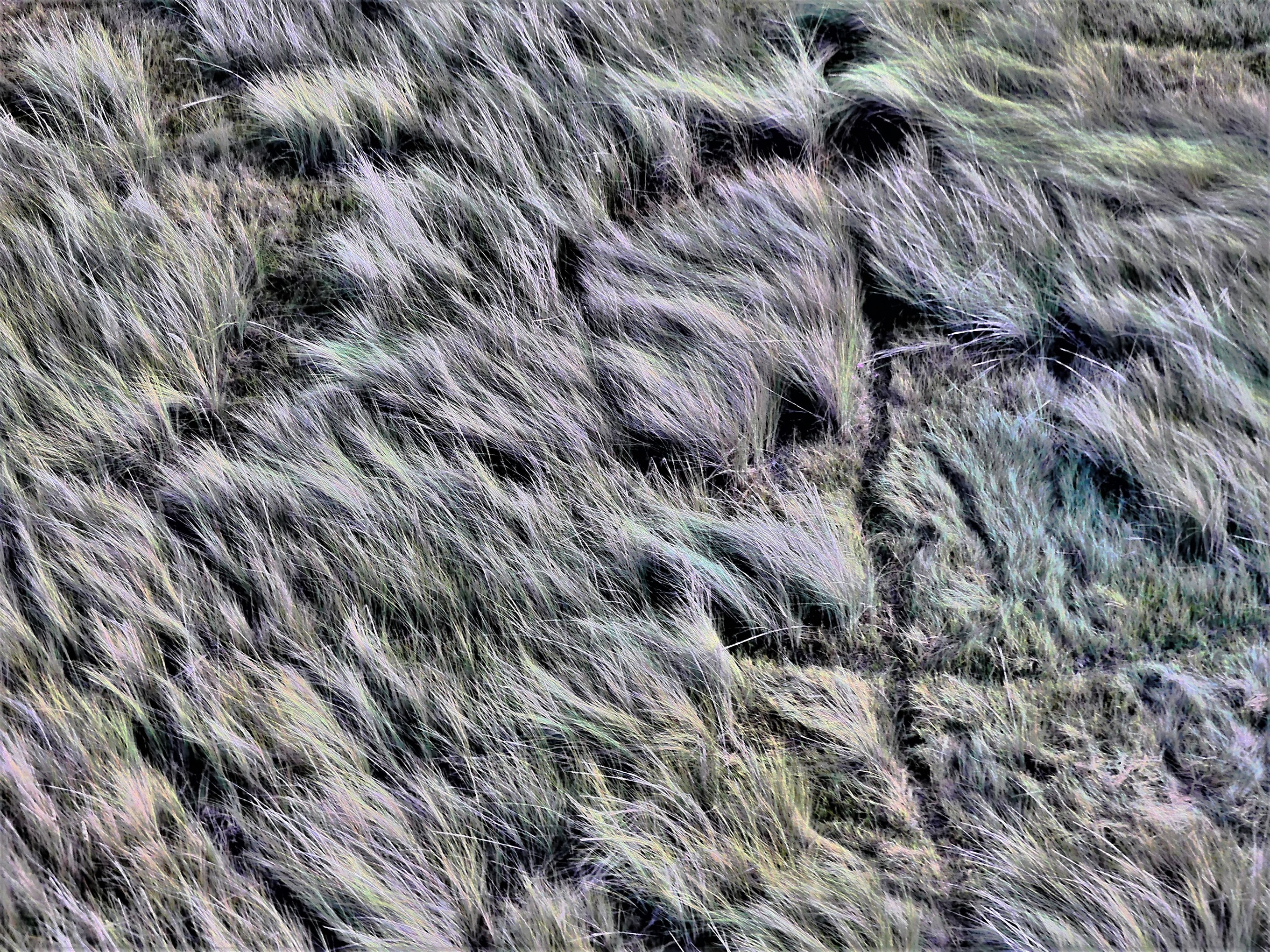 savanna grass