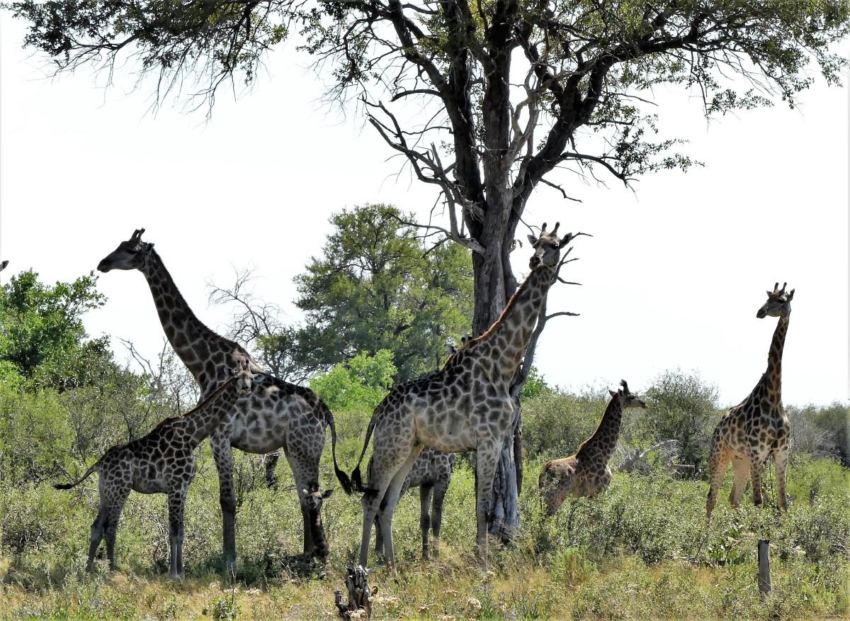 tall family
