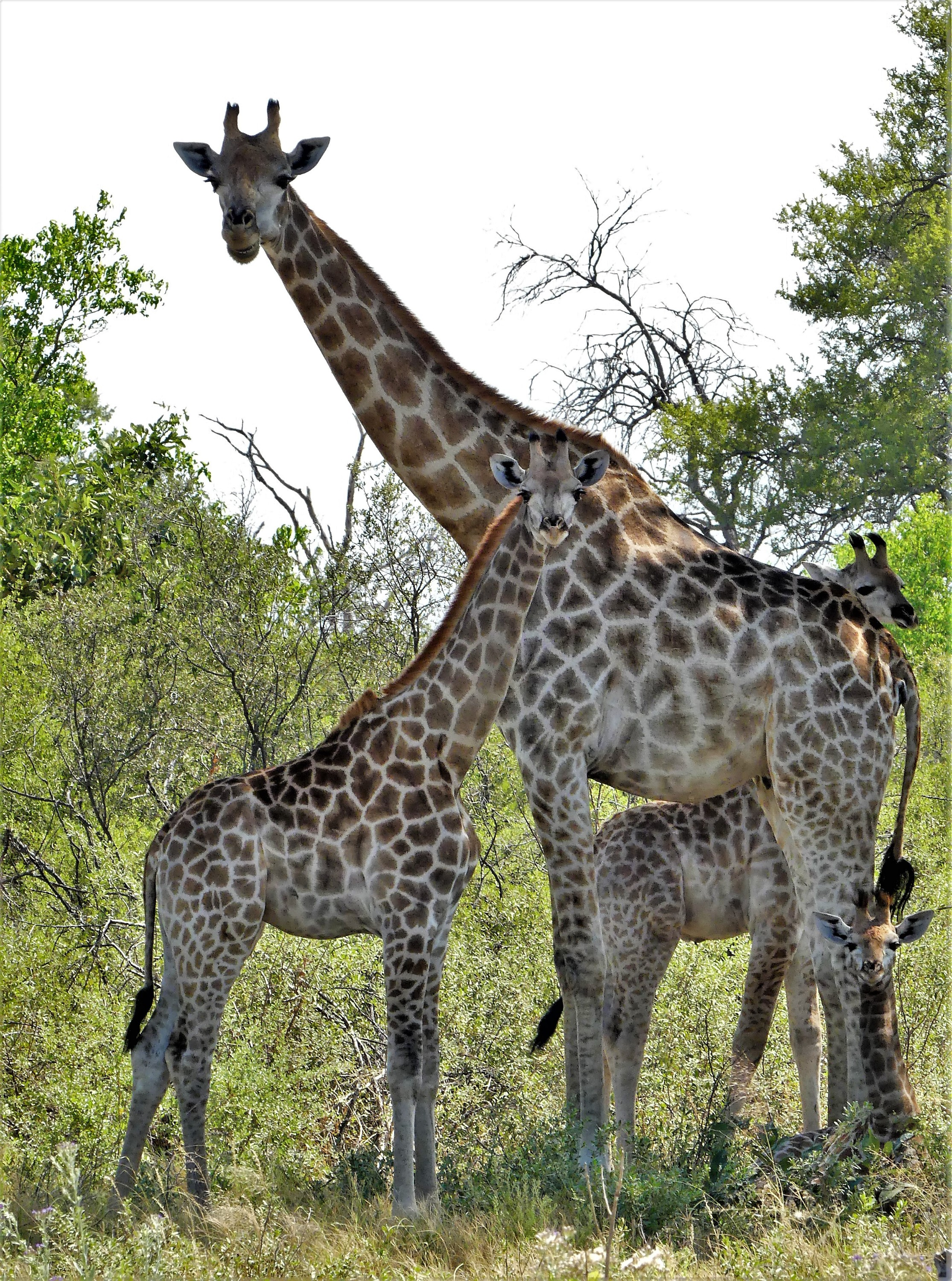 tower of giraffes1519442324641718967..jpg
