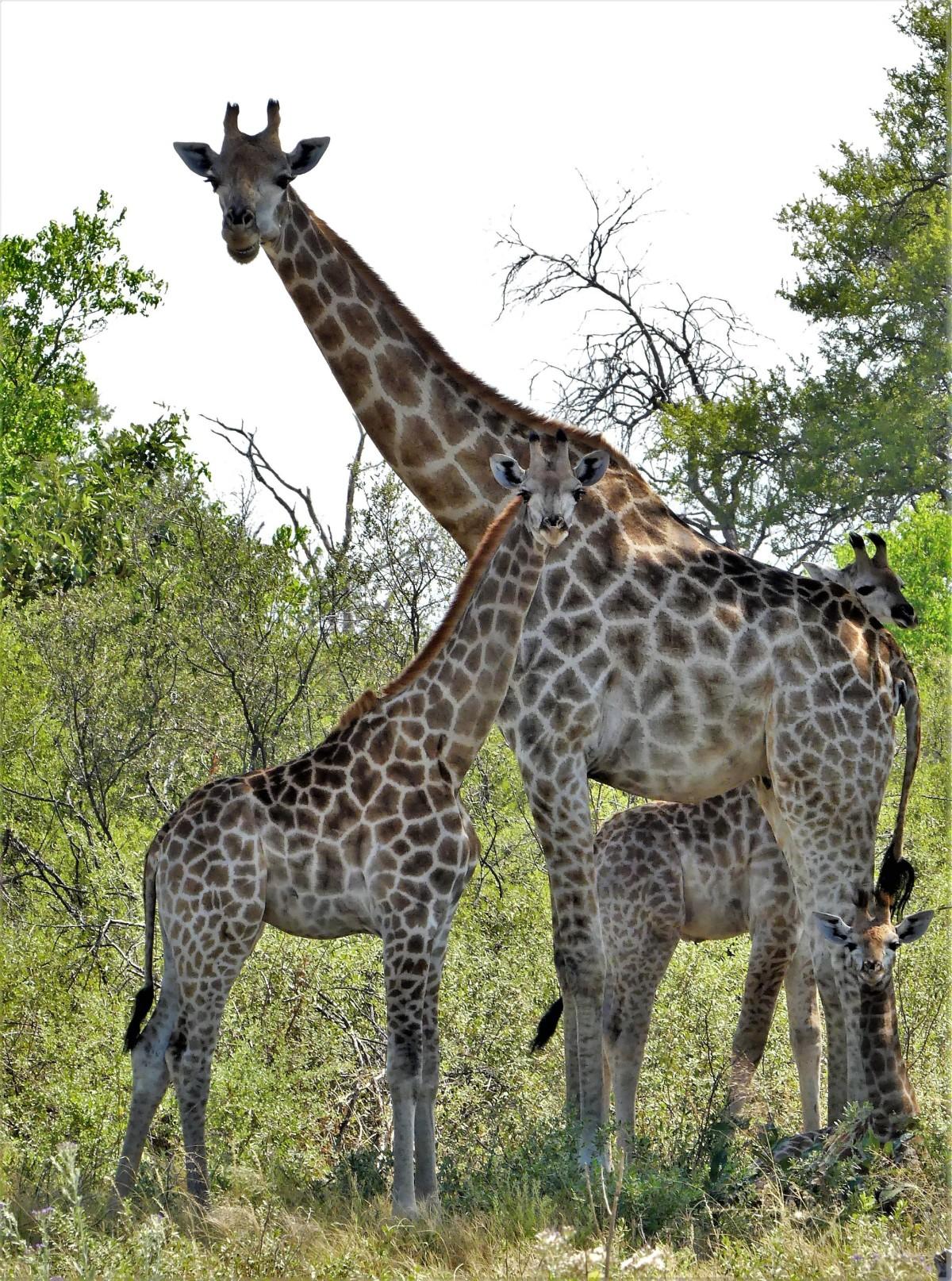 tower of giraffes1519442324641718967..jpg