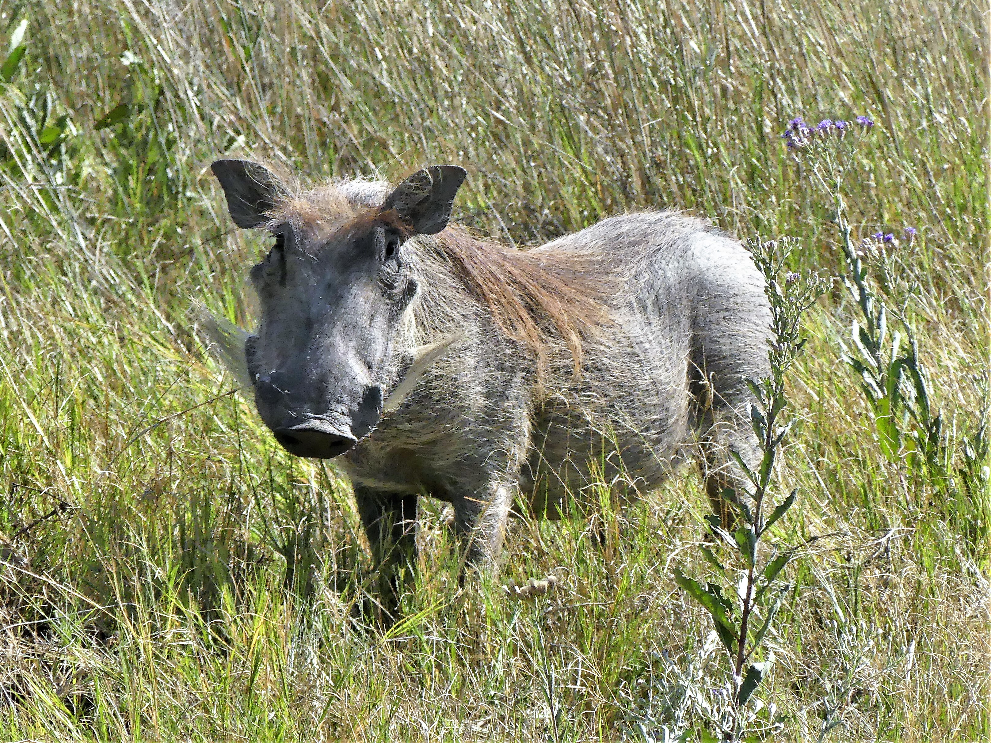 warthog in the grass