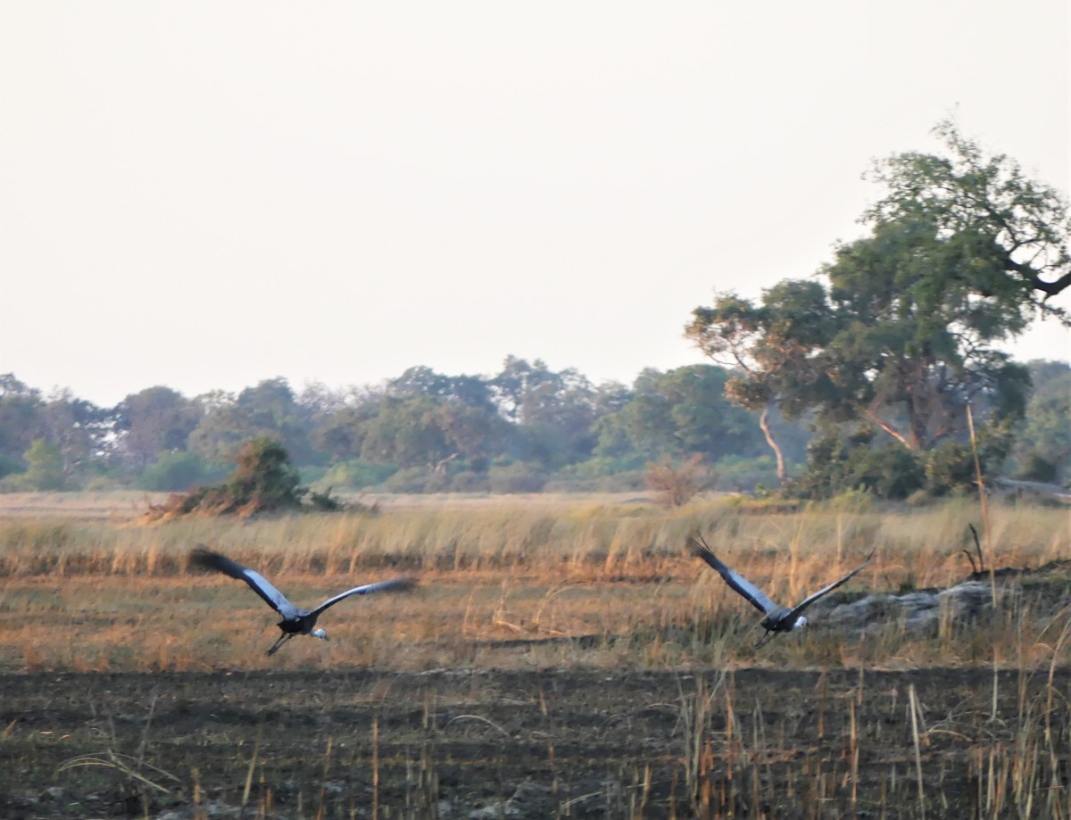 Wattled crane taking flight