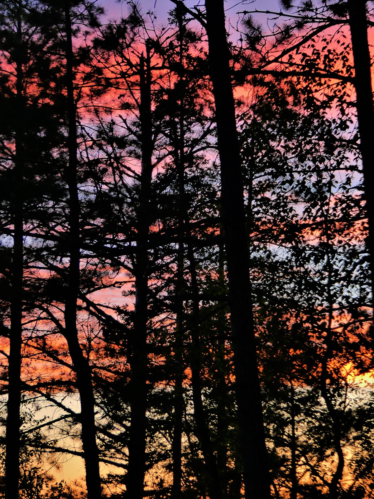 colored pines