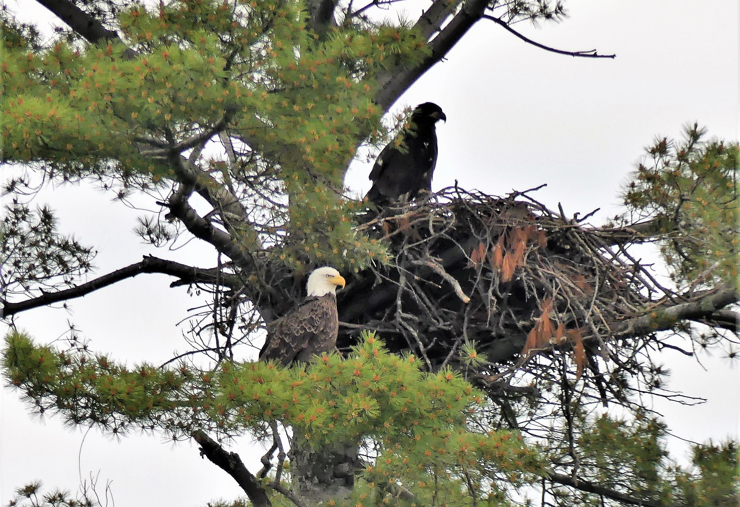 eagles and nest (4)