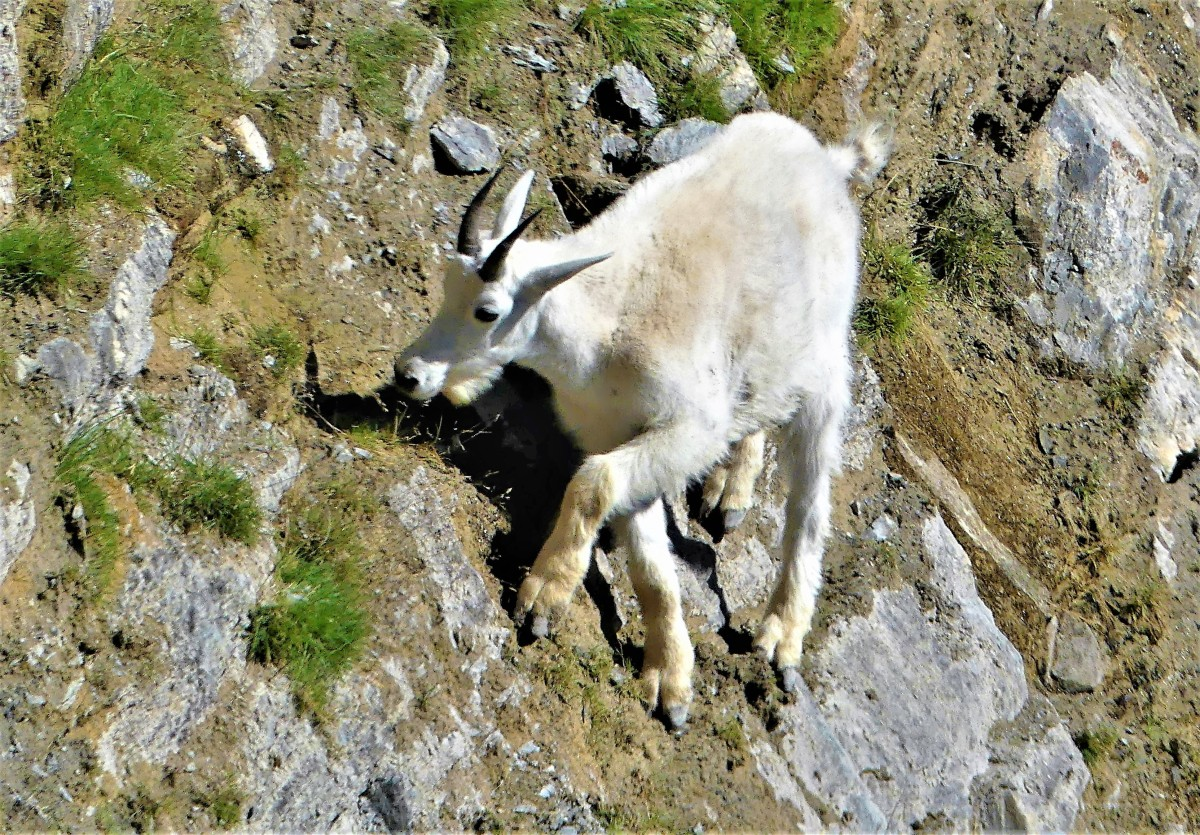 grazing goat (2)