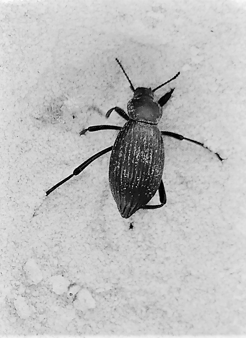 scarab beetle (2)