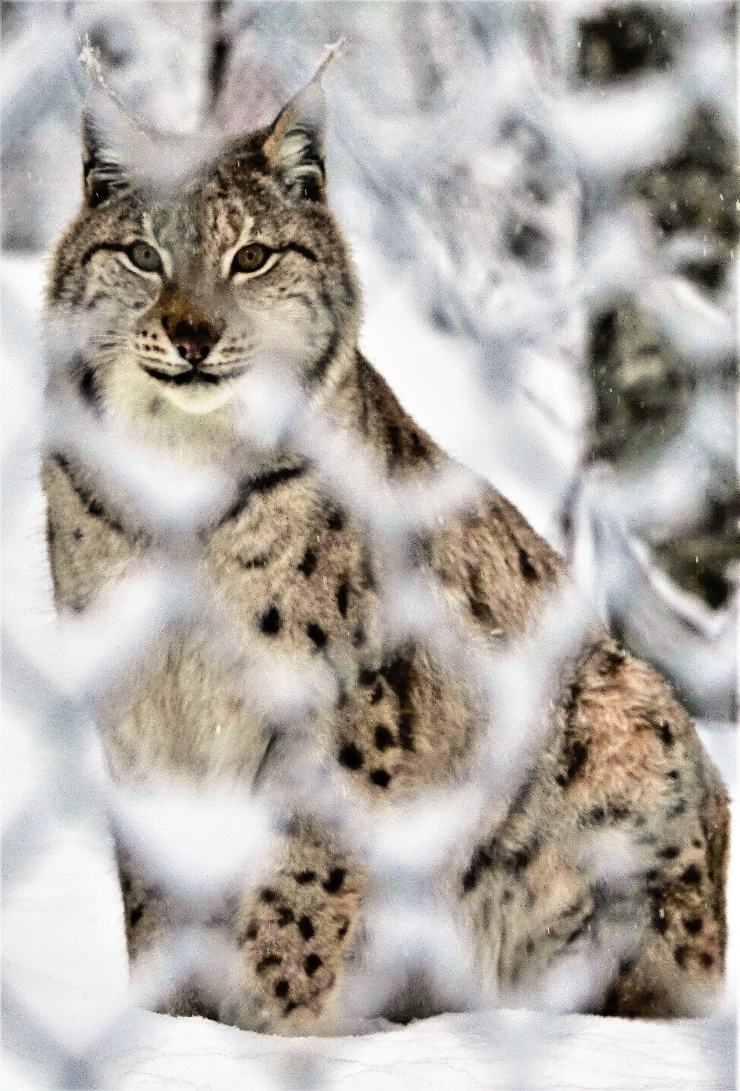 chain lynx (2)