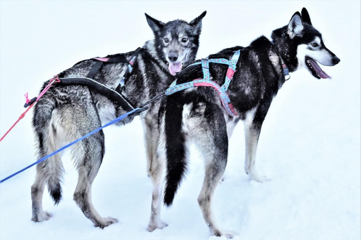 sled leads
