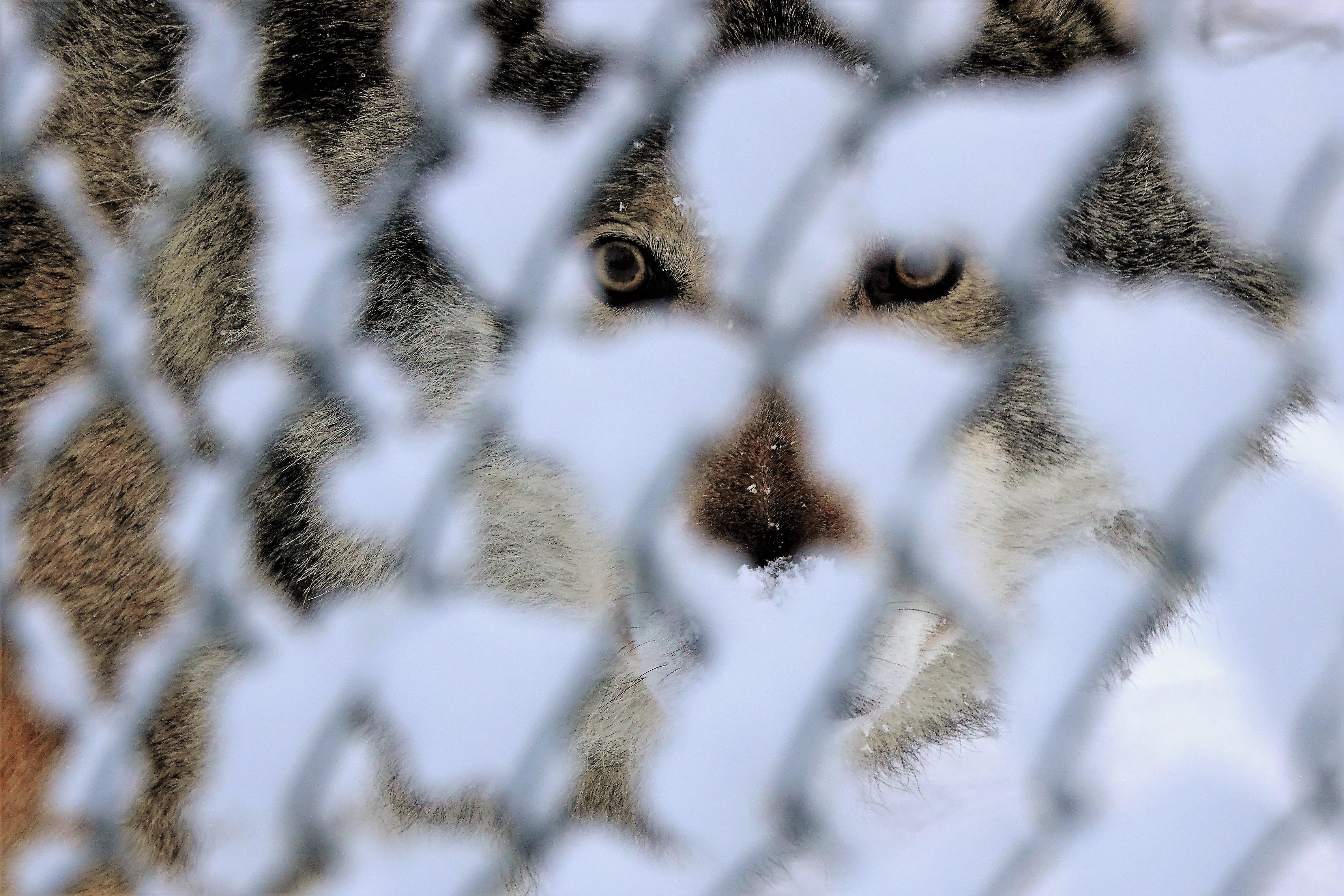 wolf eyes (3)